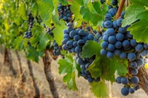 Грузия приютит африканских виноградарей