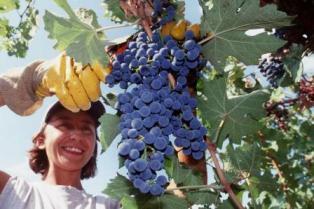Добрый урожай винограда собрали в Краснодарском крае