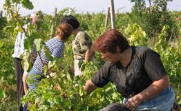 Армянские виноделы закупили 135 тыс. тонн винограда