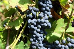 «Массандра» собрала хороший урожай