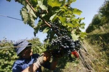 Аджария собирает уникальный виноград