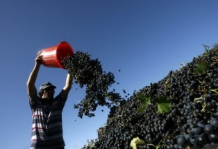 124,8 тыс. тонн винограда собрано в Дагестане