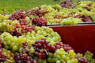Слишком сладкий виноград