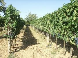 В Австрии вандалы уничтожили исторический виноградник
