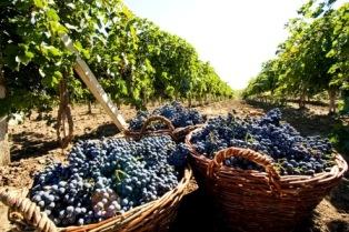 Александр Ткачев: виноградарство должно приносить высокий доход