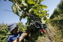 Урожай винограда в Чехии в 2010 году сократился наполовину