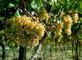 Пусть сорт винограда «аревабуйр» исчезнет