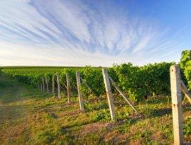 Китайцы покупают во Франции престижный виноградник Медок