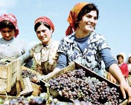 Дагестанские виноградари получили хорошую прибыль по итогам 2010 года