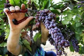 Хозяйства Новороссийска в 2010 году увеличили сбор винограда на 32%