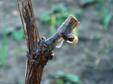 Хозяйства Ставрополья приступили к обрезке виноградной лозы