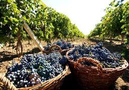 В Алтайском крае увеличат посадки винограда