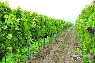 Напитки №2_2011 Игроки рынка могут уйти, виноградники должны остаться