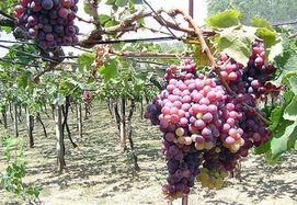 «Виноградари и виноделы Украины» против отмены 1% сбора