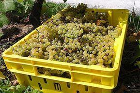 Виноделы Австралии борются за урожай