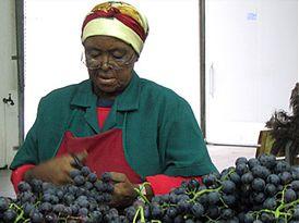 Урожай винограда в Южной Африке