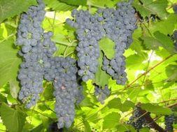 Парламент Украины увеличил сбор на развитие виноградарства до 1,5%