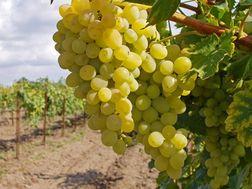 Французские виноделы оценили виноградники Анапы