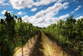 Стоимость виноградников в Новой Зеландии за 4 года снизилась