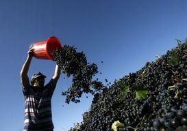 В Дагестане приступят к уборке ранних сортов винограда