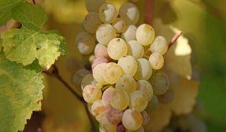 Виноделы Украины просят помощи