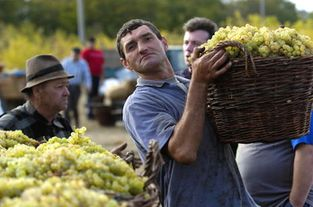 27 компаний будут принимать виноград у крестьян