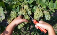 Град побил виноградники в Кандаура и Богдановке