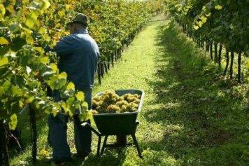 Стартовал сбор винограда в Шампани