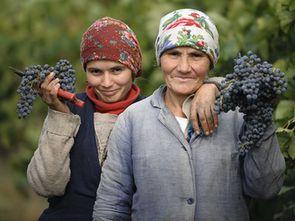 В Молдове началась уборка технических сортов винограда