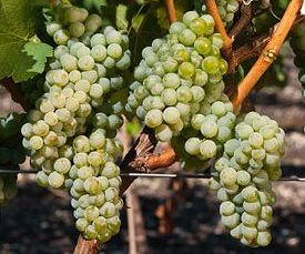 «Вилла Виктория» приступила к сбору урожая