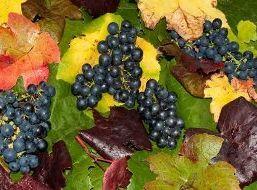 В Самарской области начался сбор винограда