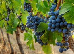 Урожай винограда этого года в Молдове будет больше прошлогоднего