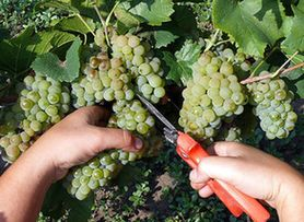 В Бахчисарайском районе прошел праздник сбора винограда