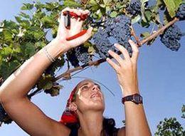 Виноградари Ставрополья убрали треть урожая