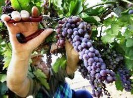 В Анапе начался «винный сезон»