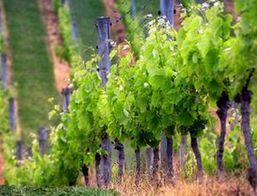 300 млн. рублей вложено в развитие виноградарства на Кубани в 2011 году
