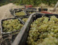 В Анапе впервые проходит молодежный форум виноградарства