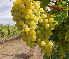 Анапа занимает второе место на Кубани по урожайности винограда в 2012 году