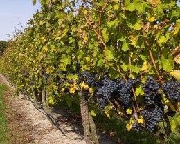 Краснодарский край в 2012г увеличил площади виноградников на 17%