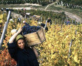 В Дагестане заложат около 1,5 тысячи гектаров новых виноградников