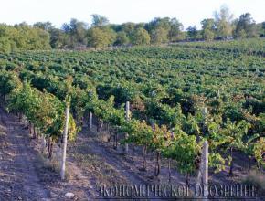 Молдова может остаться без виноградников