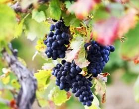 Ростовские виноградари получат дополнительную поддержку на выращивание автохтонных сортов