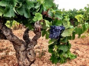 Винодельни Teрра-Альта (Испания) восстанавливают забытый автохтонный сорт «мoренильо»