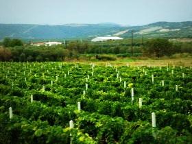 Количество плантаций винограда в Молдове сократилось