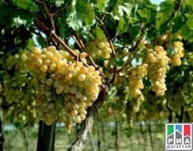 В Дагестане на площади 626 гектаров заложили новые кусты виноградников