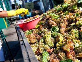 До конца года винодельческая отрасль Узбекистана переработает 132 тысячи тонн винограда