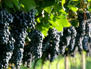 В Крыму учредили ежегодный День виноградарства и виноделия