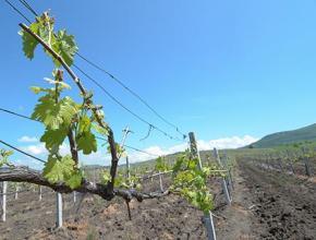 «Легенда Крыма» вложит в 75 га виноградников 62 млн руб.