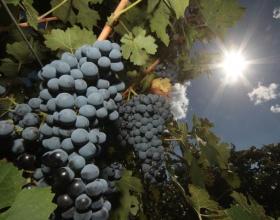 Правительство РФ разграничило полномочия ведомств в сфере виноделия