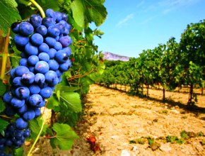 Волгоградская область намерена вернуть себе звание виноградного региона России